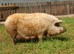 マンガリッツァ豚