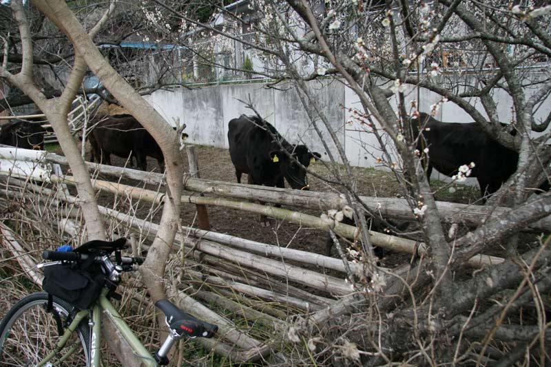 梅と牛とサリーさん(^^ゞ