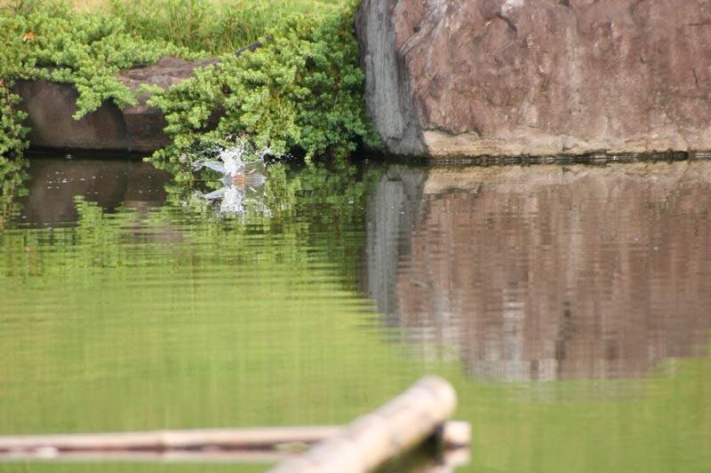 kawasemi1a001.jpg