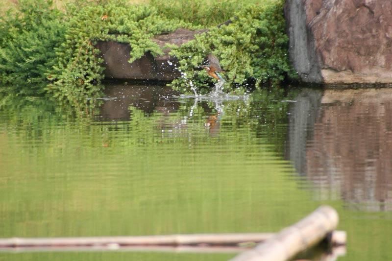 kawasemi1a002.jpg