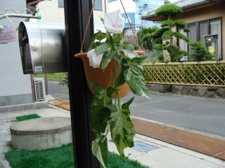 枝垂れ朝顔白い花