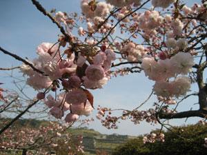 鎌倉の八重桜