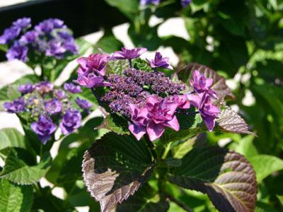 紫陽花P1