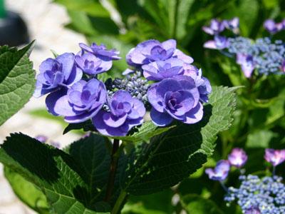 紫陽花A1