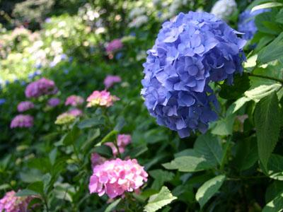 紫陽花A2