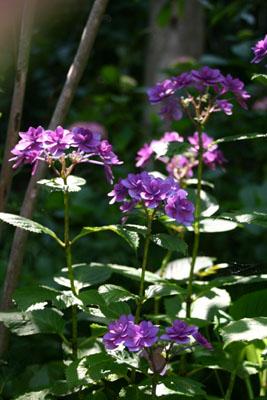 紫陽花P2