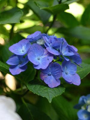 紫陽花A6