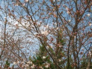 桜 1分咲き