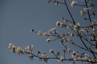 錦江湾公園の山桜1