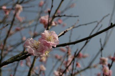 錦江湾公園の山桜2