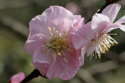 錦江湾公園の山桜3
