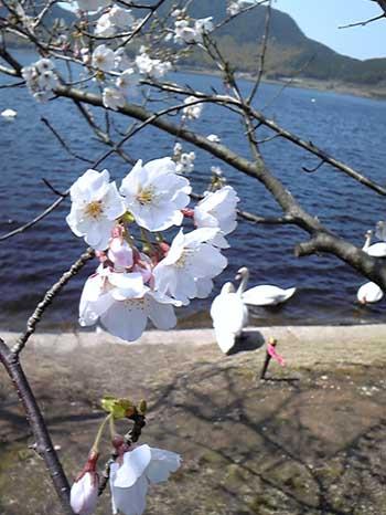 白鳥と桜1