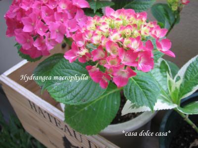 hydrangea+macrophylla_convert_20090531073246[1] (2)
