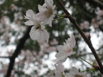 秋咲き桜1