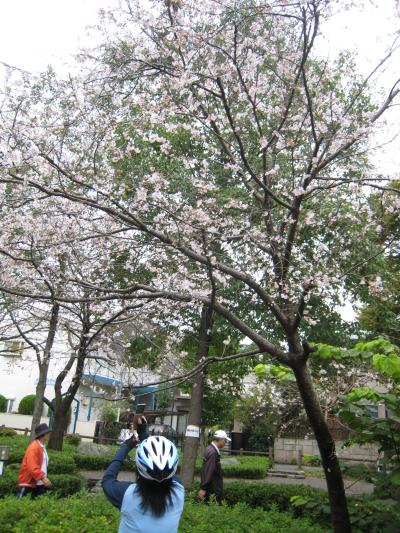 秋咲き桜2