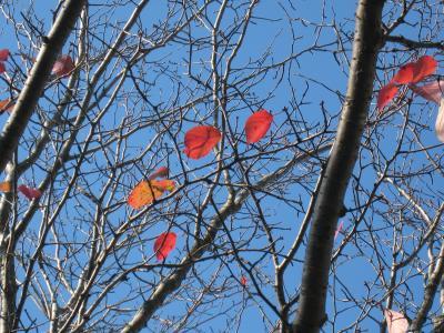 赤い葉っぱ1