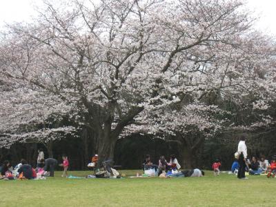 いずみの桜1