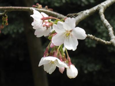 いずみの桜2