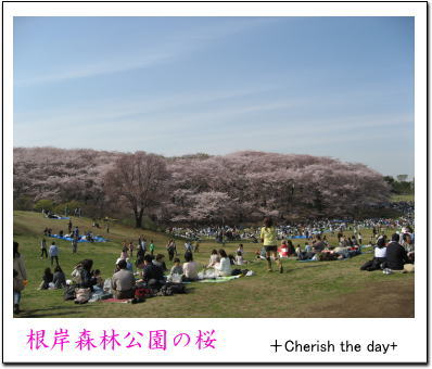 根岸森林公園の桜1