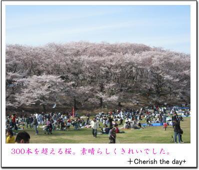 根岸森林公園の桜2