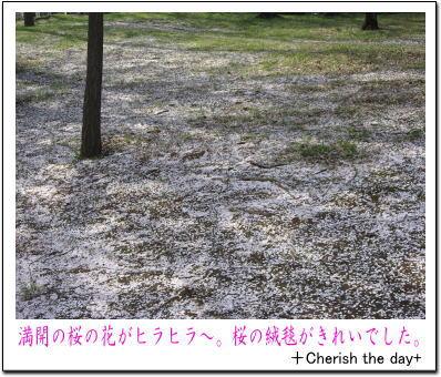根岸森林公園の桜3