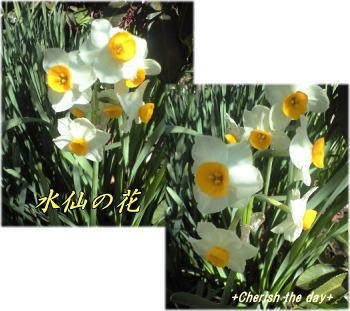 水仙の花☆2008