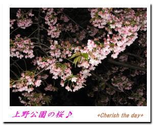 上野公園桜1