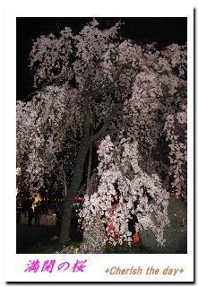 上野公園桜2