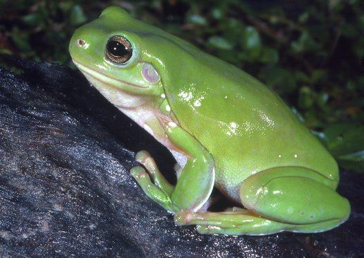 frog caerulea_big