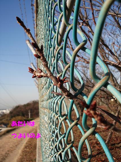 塀のさくら