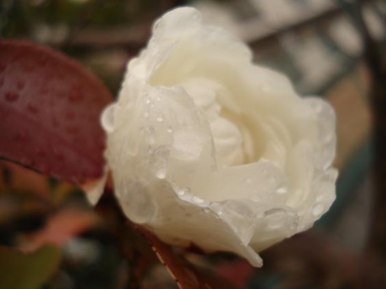 雨と咲きかけの白い花