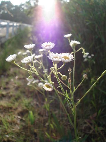 あめだま朝の花