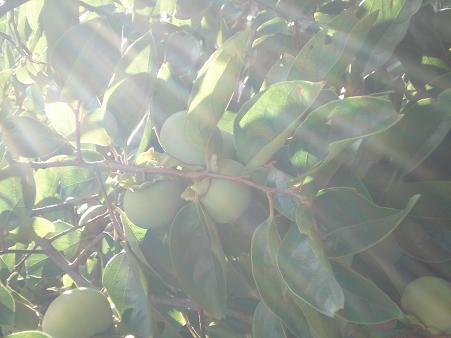 8月15日早朝の柿
