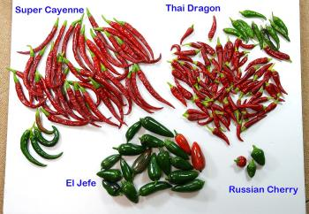 081022_peppers1.jpg
