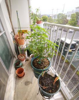 090524_peppers2.jpg