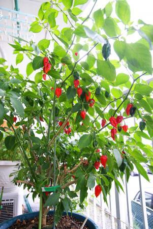 090801_peppers00-1.jpg