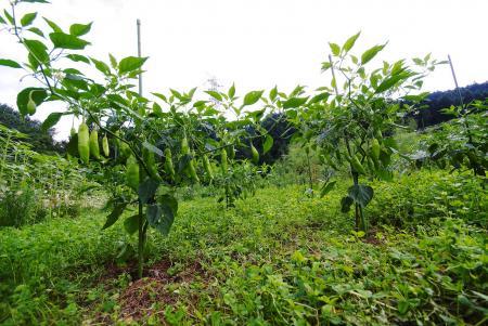 090803_peppers24.jpg