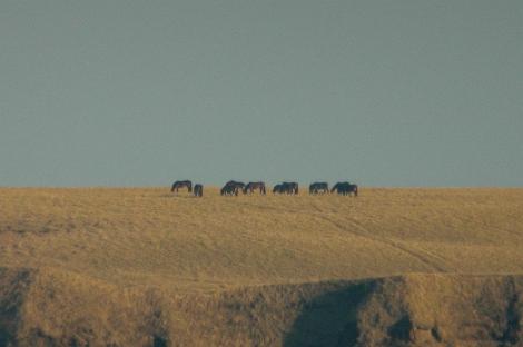ユルリ島のお馬。