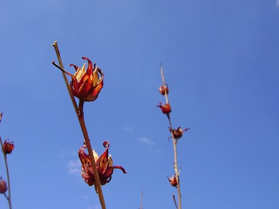 flor de jamaica カラカラ