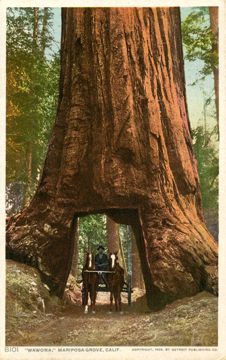 Wawona_Tree_Yosemite.jpg