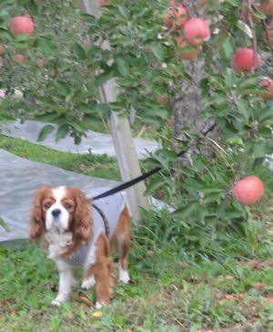 画像 102りんごの木