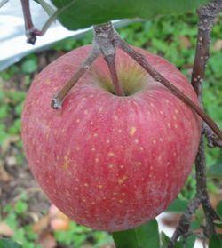 画像 105りんご