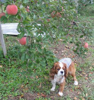 画像 103りんごの木