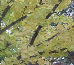 画像 106黄葉