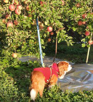 画像 106りんご畑