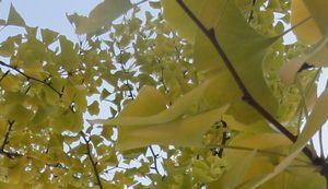 画像 107公園の銀杏
