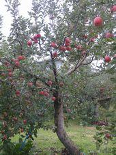 画像 105りんご1