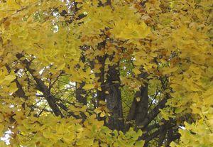 画像 119黄葉