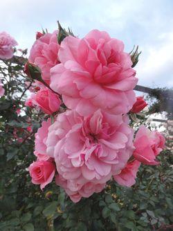 画像 115薔薇