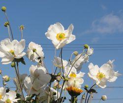 画像 109秋明菊